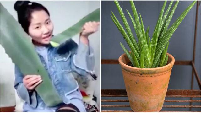 aloe vera växt äta