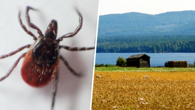 Livsfarlig parasit hittad i sverige for forsta gangen